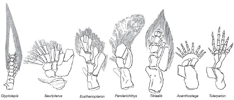Кости передних конечностей