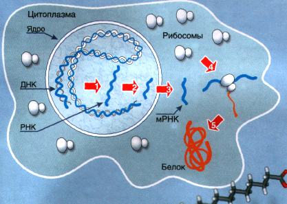 Молекулы РНК выполняют